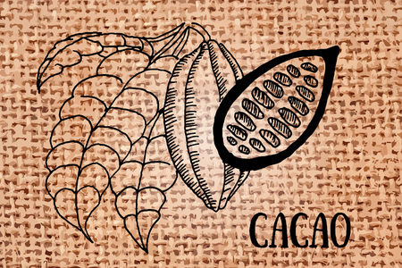 cacao: vector illustration cacao beans, leaves with text engraved style Illustration