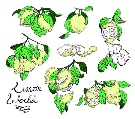 vector illustration drawing lemon set elements with leaves, peel and  text