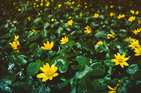 mayflower: Flowering bright yellow Marsh Marigold Caltha palustris , background Stock Photo