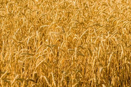 Wheat field, wheat background Stock Photo