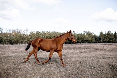 The horse gallops in gait, a portrait in the daylight and rages in the pasture