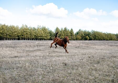 The horse gallops in gait, a portrait in the daylight and rages in the pasture Stock fotó