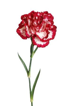 clavel: flor Clavel closeup aislado en blanco Foto de archivo