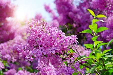 lilac flowers with green leaves in sunny spring day Stock Photo