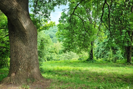 big old oak on glade in park Stock Photo