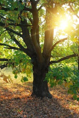 oak tree and evening sun rays in forest