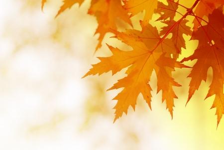ぼやけた背景の秋のカエデを葉します。