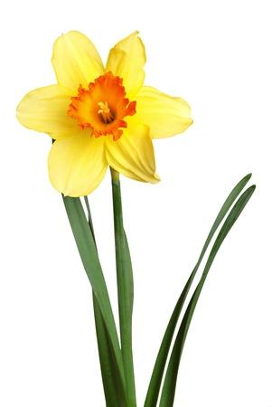 bloem van de narcis op wit wordt geïsoleerd