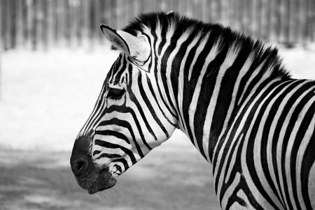 portrait of zebra black and white