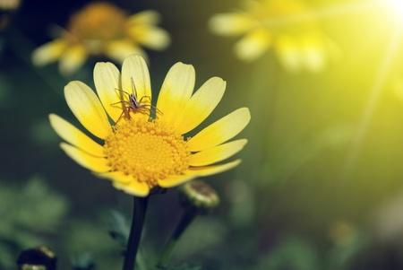pavouk na okvětní lístek žlutý květ a teplé sluneční světlo