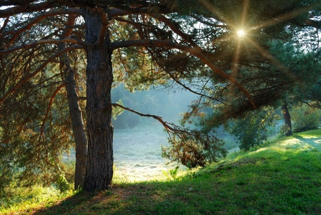 pine tree and sun rays through the branches at misty morning Stockfoto