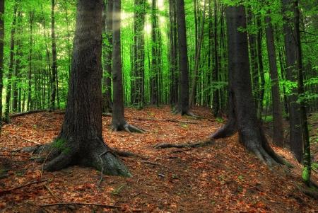 Karpatské lesní a sluneční paprsky v ranním obrazu HDR