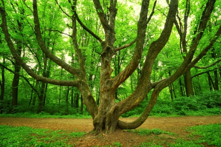 big branchy tree in green spring forest Stock Photo