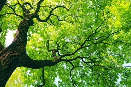 mighty old tree with green spring leaves