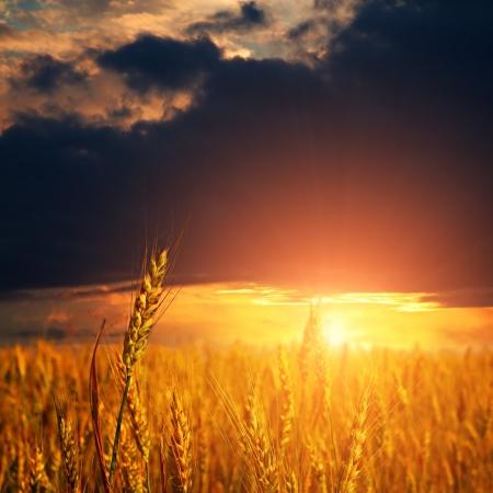 cosecha de trigo: campo con espigas de trigo maduro, y la luz de la puesta del sol cielo