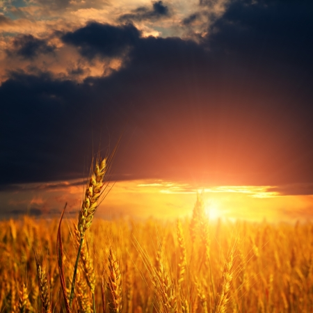 field with ripe wheat ears and light on sunset sky