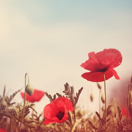 field of flowers: poppy flowers vintage stylized without paper texture