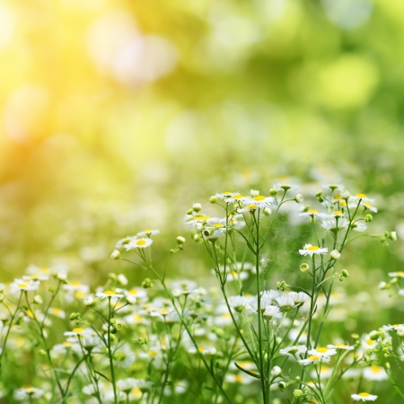camomiles on summer field closeup blurred green bokeh as background Stockfoto