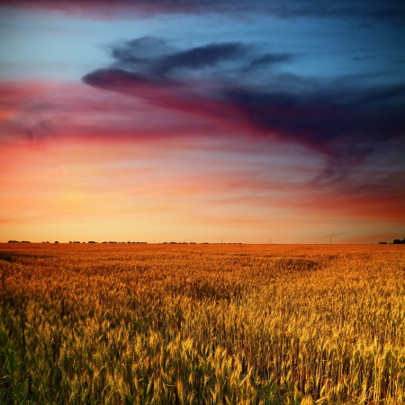 grain fields: wheat field and beauty clouds of red and blue colors in sunset time Stock Photo