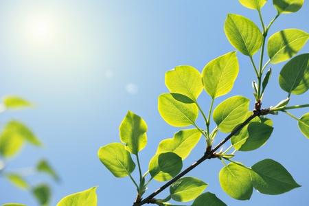 nové zelené listy na slunci na modrém pozadí oblohy