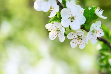třešňový květ na rozmazané zelené pozadí, selektivní zaměření