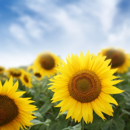 sun flowers in field on blue sky background