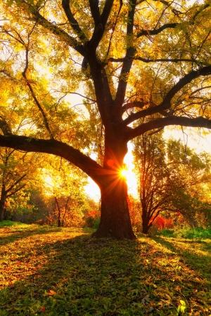 žlutá dub a přírodní paprsky slunce na podzim sezóny