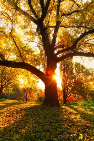 yellow oak tree and natural sun beams at fall season