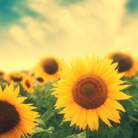 girasol: flores del sol en el campo con los colores retro Foto de archivo