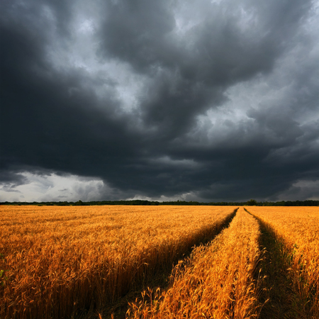 ripe wheat field and dark dramatic clouds, there is a long track of combine photo