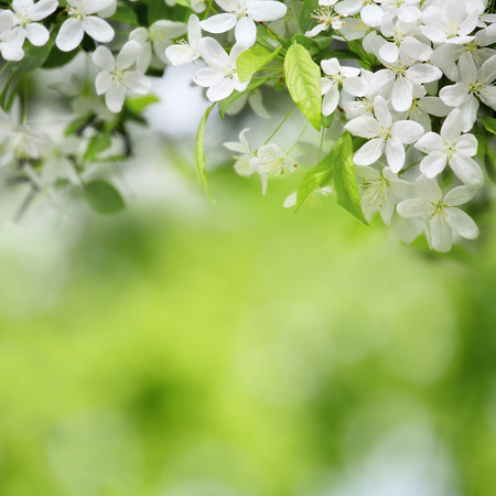 cherry flowers in sunny day on green blurred background with selective focus Stock Photo