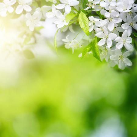 třešňové květy v sluneční světlo na zeleném pozadí