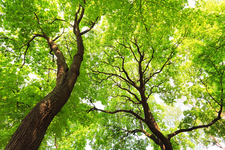 twiggy: trees with green leaves canopy at sunny spring day, bottom view