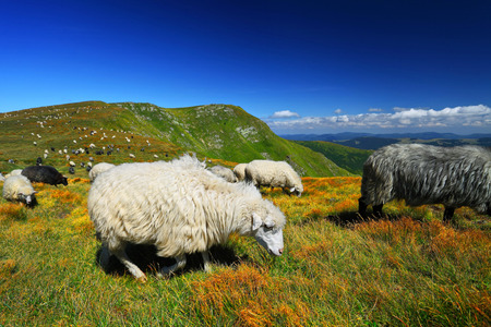 herd of sheeps on mountain pasture in summer day