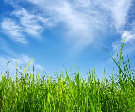 tall grass: green grass on blue sky background in summer day