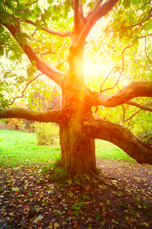 sycamore: old sycamore tree and sun light in autumn season