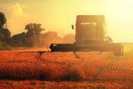 cosechadora: cosechadora de granos combinar en campo de trigo y la luz del sol