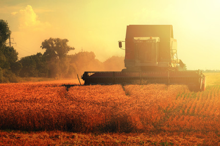 harvester: grain harvester combine on wheat field and sun light