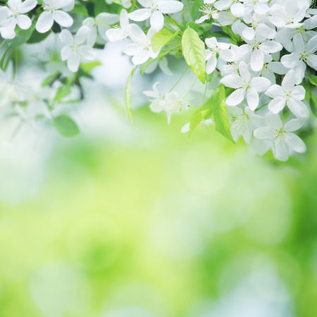 leaf: cherry flowers in sunny day on green blurred background with selective focus Stock Photo