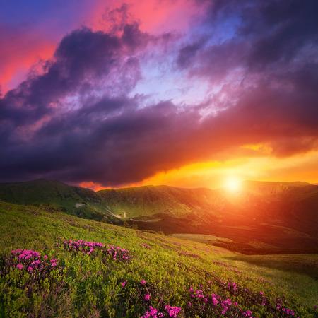 himmel mit wolken: Berglandschaft mit rosa Rhododendron-Blüten. Dramatische Sonnenuntergang Himmel über Karpaten