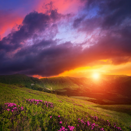 square background: Mountain landscape with pink rhododendron flowers. Dramatic sunset sky over Carpathian hills