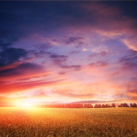 tranquil: sunset over wheat field with amazing clouds on sky, line of trees on horizon