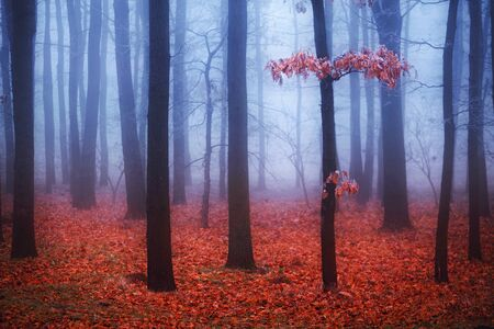 fantasy background: Foggy trees in forest with red leaves and blue mist on background. Selective focus