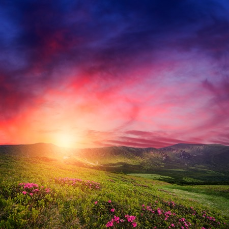 tranquil: Amazing mountain sunset with rhododendron flowers in green grass. Carpathian landscape in spring season