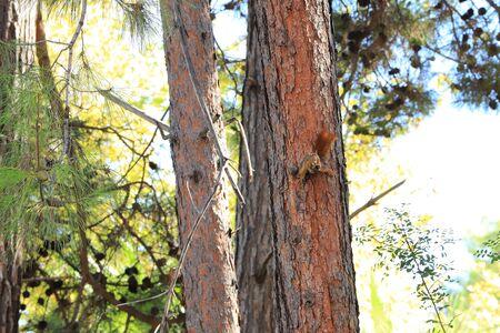 Red squirrel on pine in summer green forest Zdjęcie Seryjne