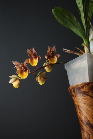 orchid flower Catasetum Chuck Taylor 写真素材 - 104871576