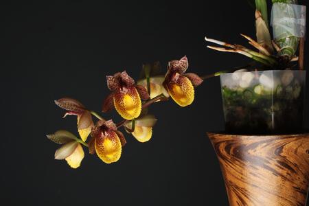 orchid flower Catasetum Chuck Taylor 写真素材 - 104874047