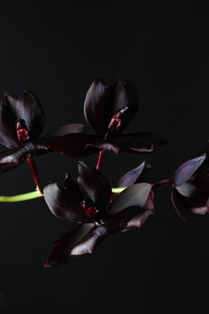 orchid flower dark burgundy black Stock fotó