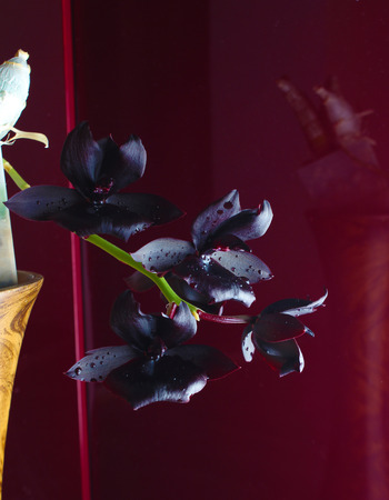 orchid flower dark burgundy red background 免版税图像
