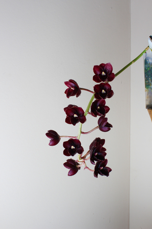 burgundy red orchid on a light background Fredklarkeara After Dark